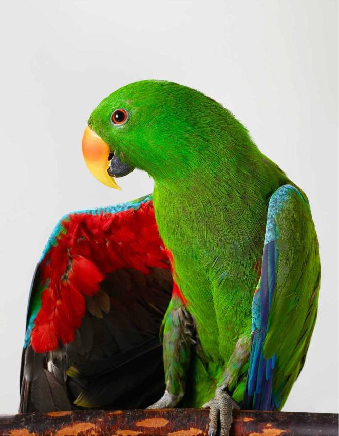 Oscar-Eclectus-Parrot-outtake-by-Lila-Jeffreys-Yellowtrace-111