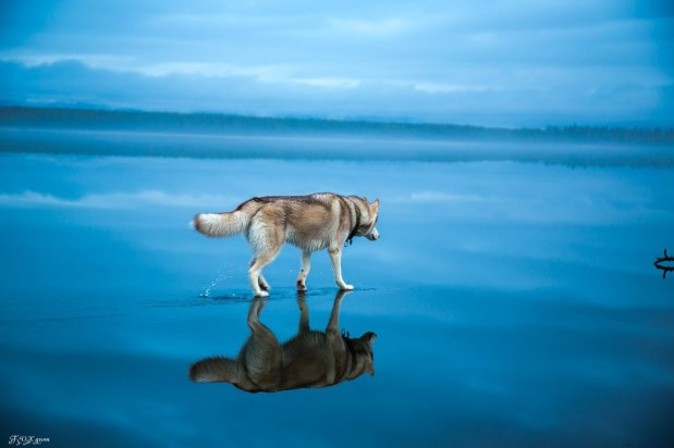 Magical Photos Of Siberian Huskies On A Frozen Lake