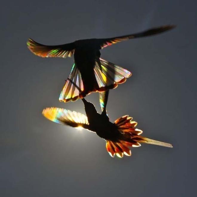 hummingbird-wings-rainbow-christian-spencer-vinegret-4.jpg