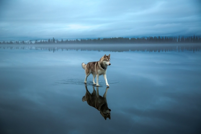 siberian-husky-frozen-lake-dog-photos-fox-grom-15