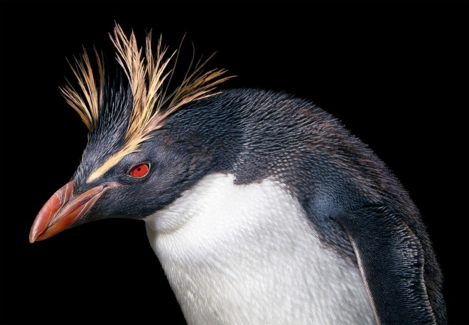 Northern-Rockhopper-Penguin-copy_3