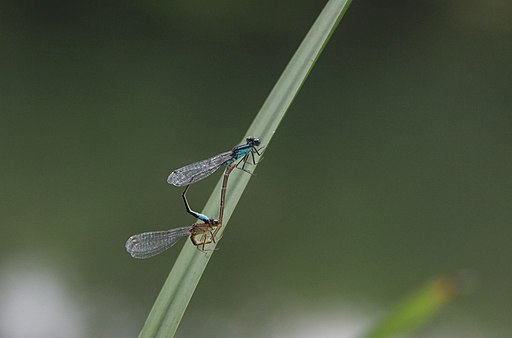 Dragonflies_in_love_and_mating_nice_insects